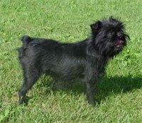 a well breed Affenpinscher dog