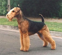 a well breed Airedale Terrier dog