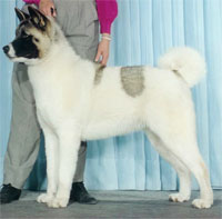 a well breed Akita dog