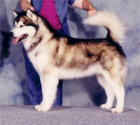 a well breed Alaskan Malamute dog