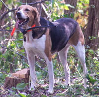 a well breed American Foxhound dog