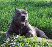 a well breed American Pit Bull Terrier dog