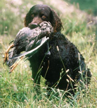 a well breed American Water Spaniel dog