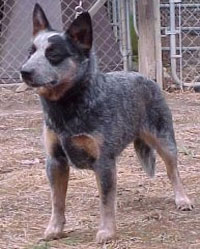 a well breed Australian Cattle Dog
