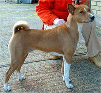 a well breed Basenji dog