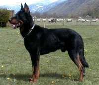 a well breed Beauceron dog