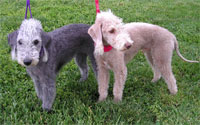 a well breed Bedlington Terrier dog