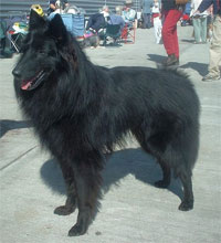 a well breed Belgian Shepherd dog