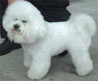 a well breed Bichon Frise dog