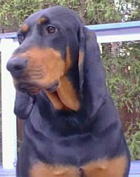 a well breed Black And Tan Coonhound dog