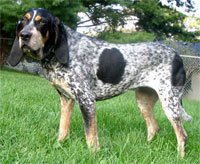 a well breed Blue Tick Coonhound dog