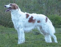 a well breed Borzoi dog