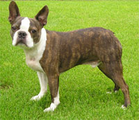 a well breed Boston Terrier dog