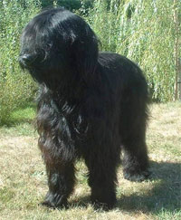 a well breed Briard dog