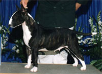 a well breed Bull Terrier dog
