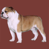 a well breed Bulldog