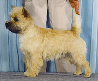 a well breed Cairn Terrier dog