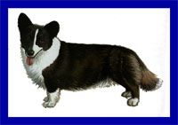 a well breed Cardigan Welsh Corgi dog
