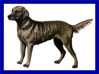 a well breed Chesapeake Bay Retriever dog