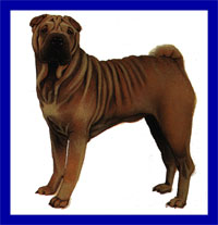a well breed Chinese Shar-pei dog