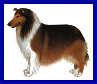 a well breed Collie dog