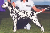 a well breed Dalmatian dog