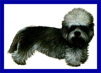 a well breed Dandie Dinmont Terrier dog