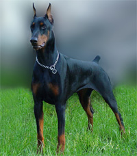 a well breed Doberman Pinscher dog
