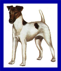 a well breed Toy Fox Terrier dog