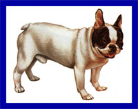 a well breed French Bulldog