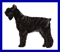 a well breed Giant Schnauzer dog