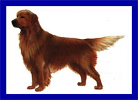 a well breed Golden Retriever dog