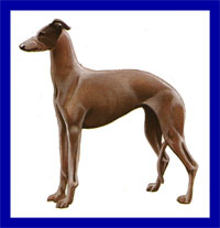 a well breed Greyhound dog