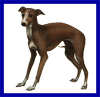 a well breed Italian Greyhound dog