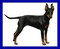 a well breed Manchester Terrier dog