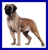 a well breed Mastiff dog