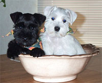 a well breed Miniature Schnauzer dog