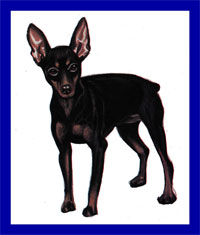a well breed Miniature Pinscher dog