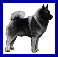 a well breed Elkhound dog