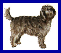 a well breed Otterhound dog