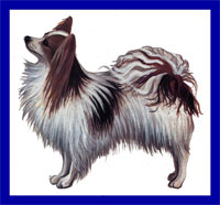 a well breed Papillon dog