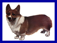 a well breed Pembroke Welsh Corgi dog