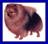 a well breed Pomeranian dog