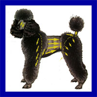 a well breed Poodle dog