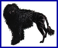 a well breed Portuguese Water Dog