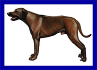 a well breed Rhodesian Ridgeback dog