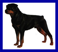 a well breed Rottweiler dog