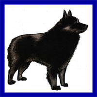 a well breed Schipperke dog