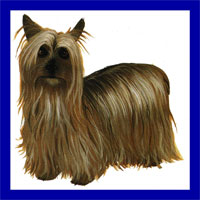 a well breed Silky Terrier dog