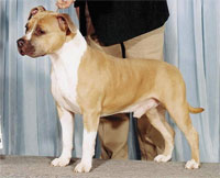 a well breed Staffordshire Bull Terrier dog